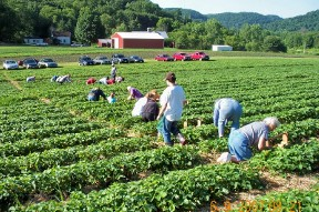 People picking strawberries in patch